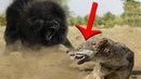 Волкодавы в Деле / На что Способны Собаки против Волка, Медведя и Тигра
