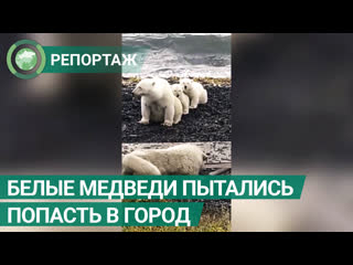 Белая медведица с медвежатами вышли за едой к людям на Чукотке. ФАН-ТВ