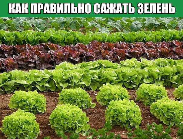 Как правильно сажать зелень.