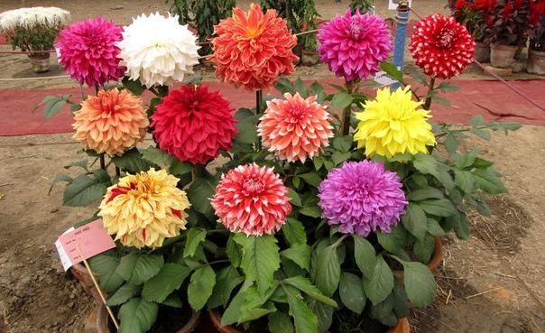 Вот что надо делать чтобы пышно и красиво цвели георгины. Георгины неприхотливые растения, не требующие особого ухода. Но чтобы они радовали вас пышным цветением, надо знать их потребности. А