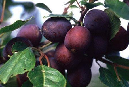 ЧТОБЫ СЛИВА ДАВАЛА ХОРОШИЙ УРОЖАЙ В чем же причина Часто в сортах. Раньше они были очень неприхотливыми, но и плоды у них были мелковаты да кисловаты. А сейчас они крупные, сладкие, но такие