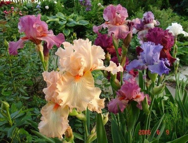 Почему ирисы не цветут. 5 причин